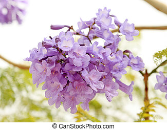 A beautyful spring lilac tree in bloom