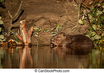 A beaver eating on a sunny morning in summer