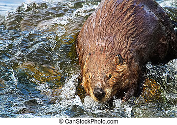 A beaver looking towards the camera in wavy water