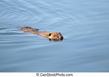 A beaver swimming towards the camera in calm water