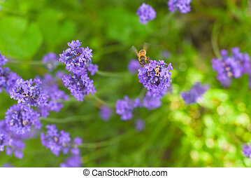 A Bee collecting pollen from lavender flowers in a bright summer meadow