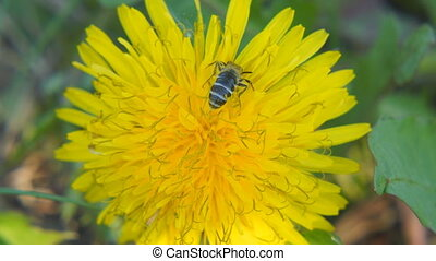 A bee collects pollen on a dandelion. Close up