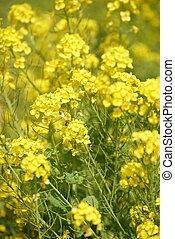 a bee in field mustard