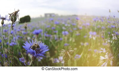 A bee is sitting on a flexing blue knapweed meadow wildflower in the summer sunset field without people Close up view slow mo video in 4K on UHD camera
