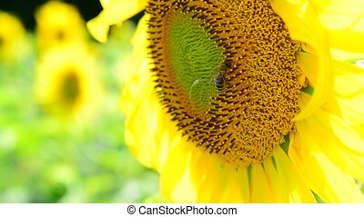 Bee on a flower of a sunflower