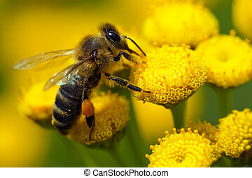 A bee on a flower - %u0441lose-up bee on yellow flower ...