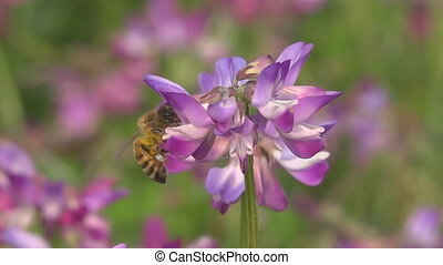 A bee on a meadow collects nectar from the flowers of a clover (close-up)