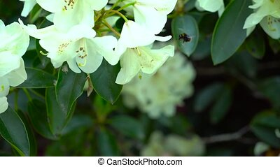 A bee on a white rhododendron flower.. Color correction.