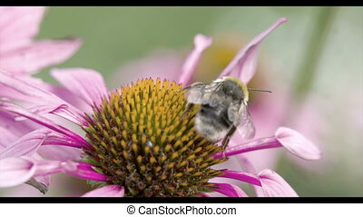 A bee on the top of the coneflower in the garden