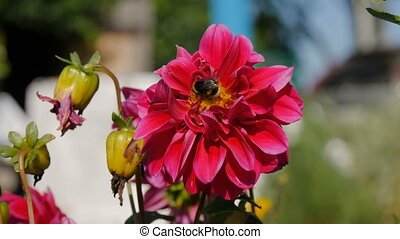 A bee pollinates a flower peony in the home garden