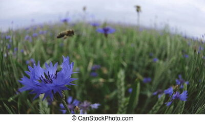 A bee pollinating and then flying of from a beautiful blue cornflower wildflower in the summer sunset field without people Close up view slow mo video in 4K on UHD camera