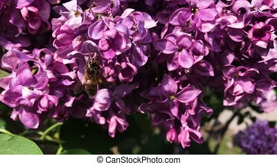 A bee sits on lilac flowers on a sunny day