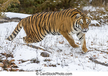 Bengal Tiger - A Bengal Tiger in a snowy Forest hunting for ...