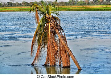 A bent coconut tree submerged in a river