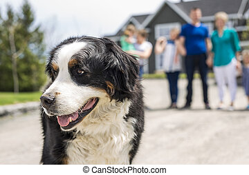 A Bernese Mountain dog with family blur on the back