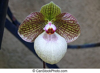 A bi-color of a paphiopedilum orchid flower