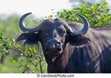 A big big buffalo of the Tanzania's national park