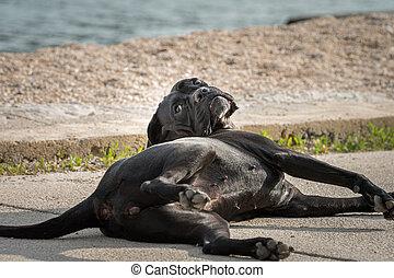 A big black dog lying on the pavement