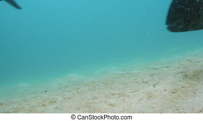 A big black fish near the ocean floor - A shot underwater of...