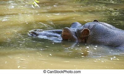 A close-up view of a big brown hippo who sits and swims slowly in a pond happily looking around in summer in slow motion. Lazily he raises his nostrils out of water