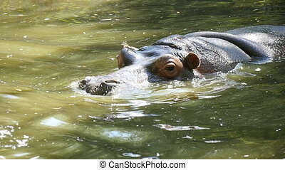 A big brown hippo swims in a pond, breezes out water out of nostrils, hides in water, not wanting to see those who look at him in a zoo in slow motion