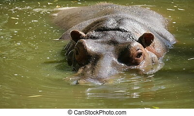 A big brown hippo swims in a pond happily looking around in...