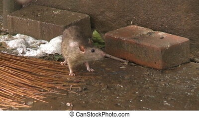 A big brown rat sniffing on a market?s wet ground