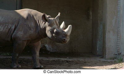 A big brown rhinoceros walking on the grass. Rhinoceros often abbreviated as rhino is a group of five extant species of odd-toed ungulates in the family Rhinocerotidae