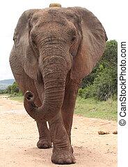 A big bull elephant
