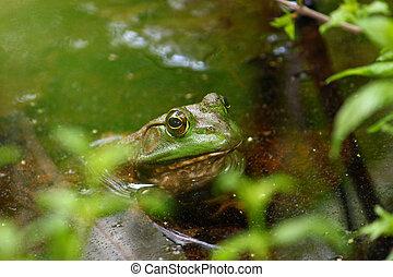 Bullfrog (Rana catesbeiana) - A big Bullfrog (Rana...