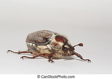 a big chafer on white background