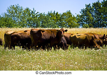 A big cow Herd on a meadow in Bavaria, Germany