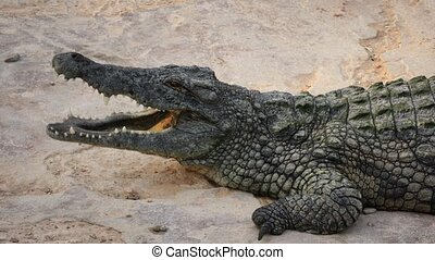 big crocodile with open mouth resting - a big crocodile with...