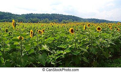 A Big Field of Sunflowers - A big field of sunflowers...