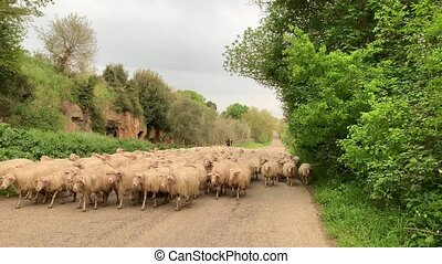 A big flock of sheeps walking on the road in the country....