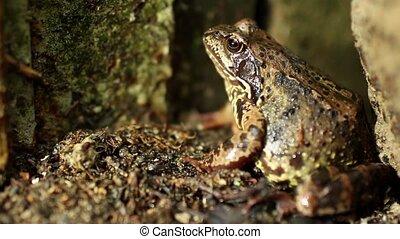 A big frog hides