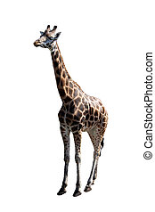 a big giraffe isolated on the white background