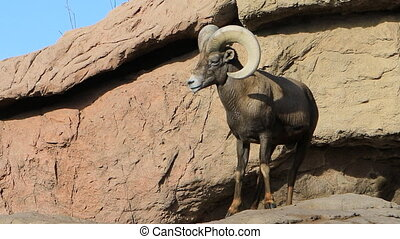 Big Horned Sheep, Ovis canadensis on rocks - A Big Horned...