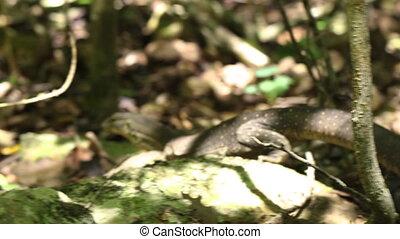 A big lizard roaming - A tracking shot of a big lizard as it...