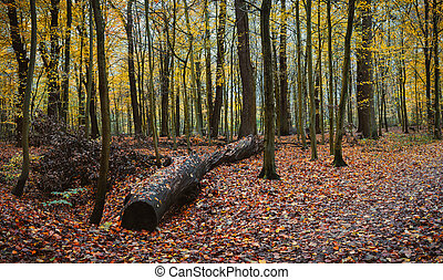 A big old log in autumnal mixed forest. Leaf fall near the pathway.