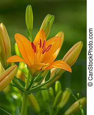 A big orange tiger lily in summer