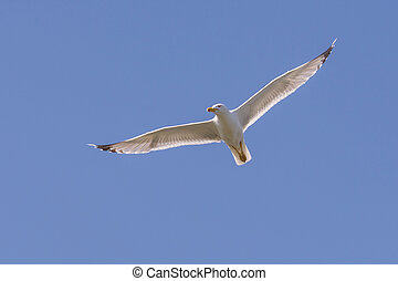 A big seagull flies in the blue sky