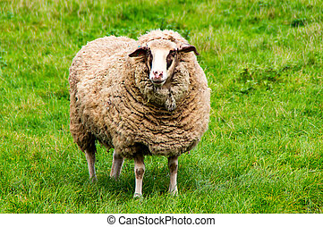 Sheep on the green gras