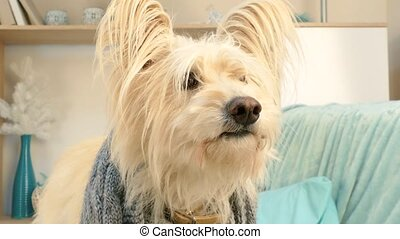 A big white dog looks into the camera. - A big white dog,...