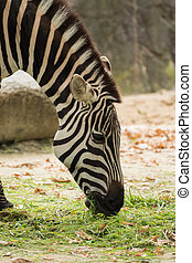 A big zebra is eating