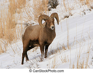 Bighorn - A Bighorn sheep ram in Wyoming