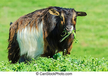 A Billy Goat in the Green Pasture