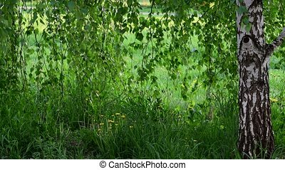 birch tree with young leaves in spring