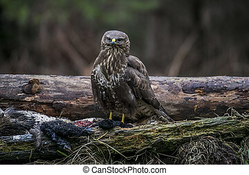 a bird of prey sits on a dead deer and eats