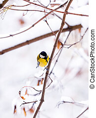 A bird tit sits on a maple branch
